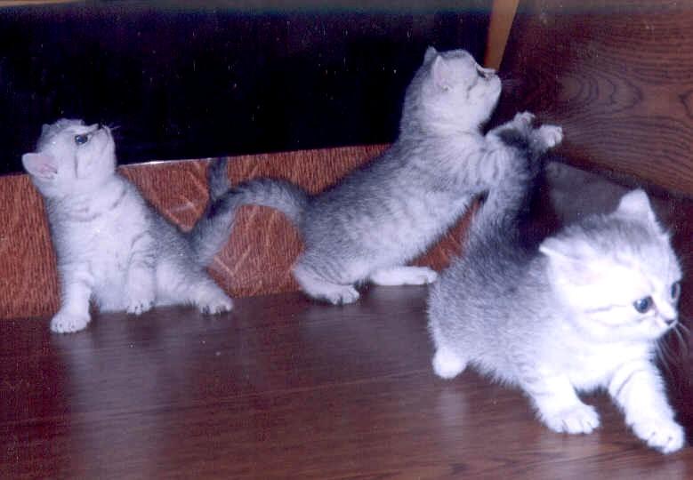 Кошек и шотландских вислоухих кошек